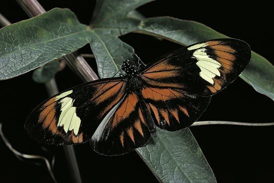 Heliconius Melpomene (Postman Butterfly)-Paul Starosta-Photographic Print