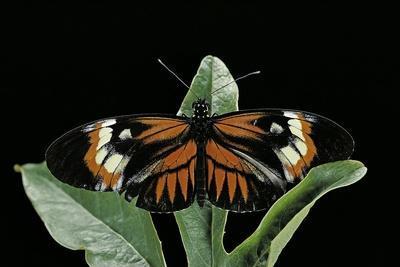 https://imgc.artprintimages.com/img/print/heliconius-melpomene-postman-butterfly_u-l-pzs7ql0.jpg?p=0