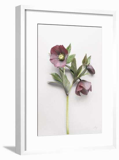 Hellebore Study V-Felicity Bradley-Framed Art Print