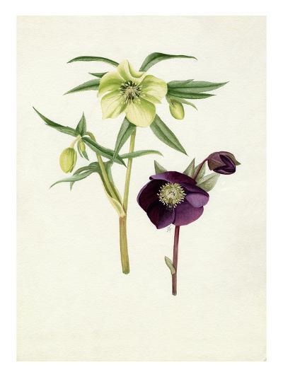 Helleborus Bowless yellow, Helleborus atrorubens-Graham Stuart Thomas-Giclee Print