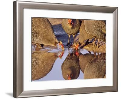Helmeted Guinea Fowl at Waterhole, Numida Meleagris, Botswana-Frans Lanting-Framed Photographic Print