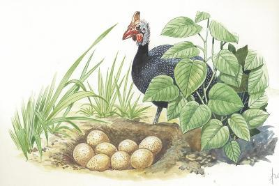 Helmeted Guineafowl Numida Meleagris at Nest with Eggs--Giclee Print