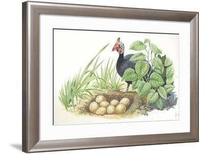 Helmeted Guineafowl Numida Meleagris at Nest with Eggs--Framed Giclee Print