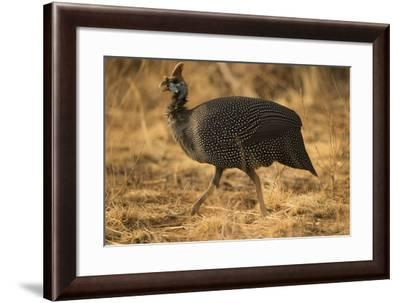 Helmeted Guineafowl-Joe McDonald-Framed Photographic Print