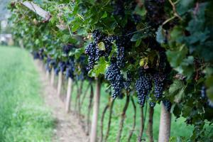 Red Wine Grapes on A Vine Vines on Lake Garda by Helmut1979