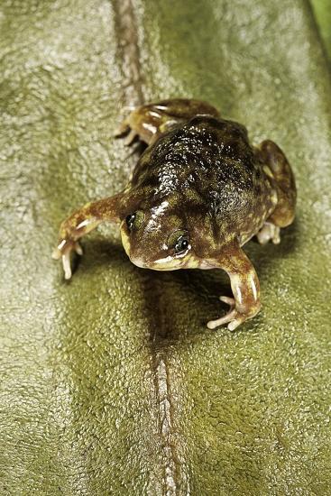 Hemisus Marmoratus (Shovel-Nosed Frog)-Paul Starosta-Photographic Print