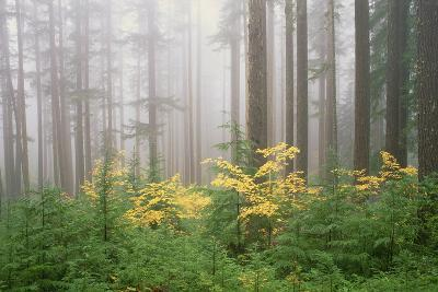Hemlock and Vine Maple Trees in the Umpqua National Forest. Green and Yellow Foliage.-Mint Images - David Schultz-Photographic Print