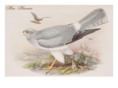 Hen Harrier-John Gould-Art Print