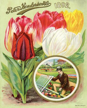 Henderson 1892 Tulips