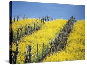 Flowering Charlock in Carneros Region, Napa Valley, Calif. by Hendrik Holler