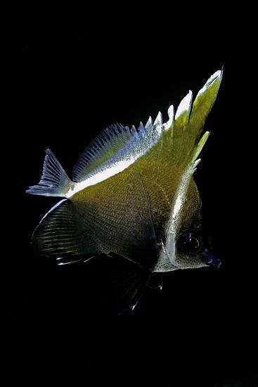 Heniochus Varius (Humphead Bannerfish, Horned Bannerfish)-Paul Starosta-Photographic Print