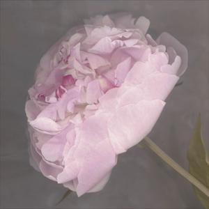 Fleur by Henri Matisse