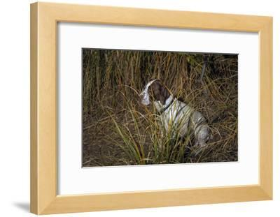 Dog in Grasses (German Shorthaired Pointer, Oakland, CA)