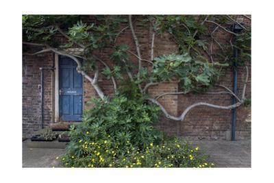 Fig Tree Against Brick Wall Blue Door by Henri Silberman