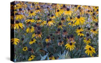 Garden Botanical BlackEyed Susan Flowers