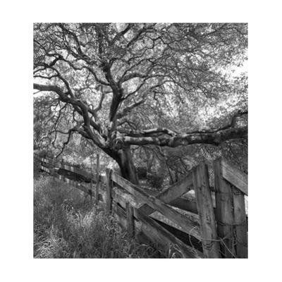 Oak Tree and Fence 2 (Native Woodland, Oakland, CA, Black and White) by Henri Silberman
