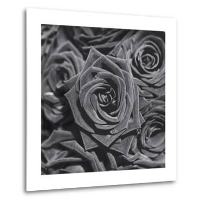 Roses, Close-Up