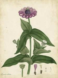Antique Zinnia by Henry Andrews