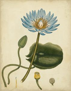 Blue Water Lily by Henry Andrews