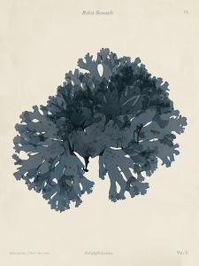 Callophyllis Laciniata by Henry Bradbury