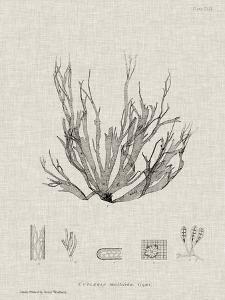 Charcoal & Linen Seaweed I by Henry Bradbury