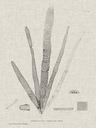 Charcoal & Linen Seaweed II
