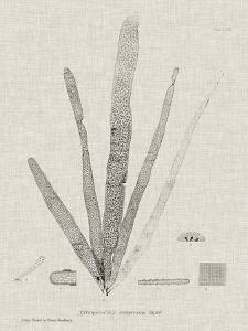Charcoal & Linen Seaweed II by Henry Bradbury