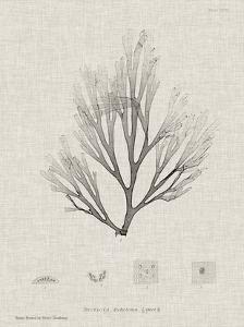 Charcoal & Linen Seaweed III by Henry Bradbury