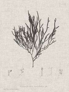 Charcoal & Linen Seaweed IV by Henry Bradbury
