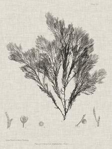Charcoal & Linen Seaweed V by Henry Bradbury