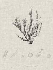 Charcoal & Linen Seaweed VI by Henry Bradbury
