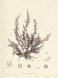 Chondria dasyphylla by Henry Bradbury