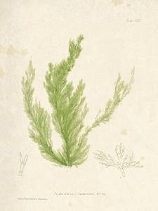 Cladophora laetivirens by Henry Bradbury