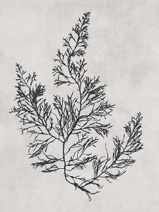 Cystoseira faeniculacea - Noir by Henry Bradbury