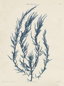 Delesseria Hypoglossum by Henry Bradbury