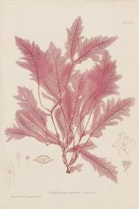 Delesseria by Henry Bradbury