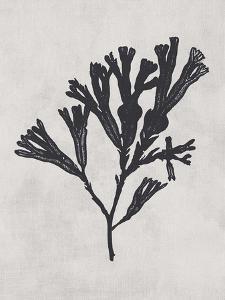 Fucus vesiculosus - Noir by Henry Bradbury