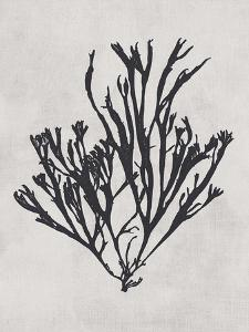 Gracilaria multipartita - Noir by Henry Bradbury