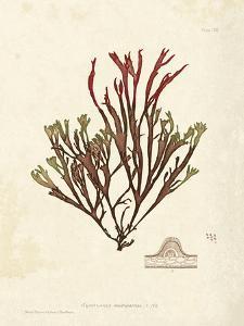 Gracilaria multipartita by Henry Bradbury
