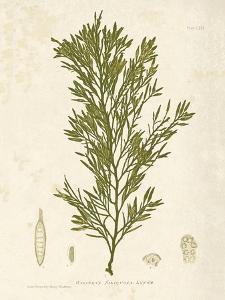 Halidrys siliquosa by Henry Bradbury