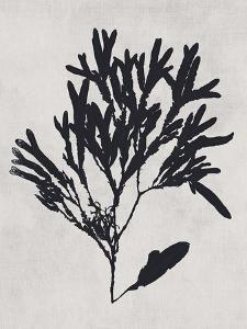 Haliseris polypodioides - Noir by Henry Bradbury