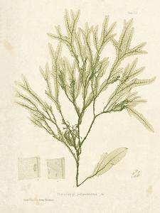 Haliseris polypodioides by Henry Bradbury
