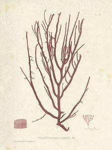 Helminthocladia purpurea by Henry Bradbury