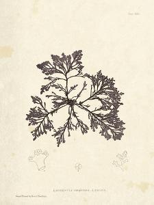 Laurencia caespitosa by Henry Bradbury