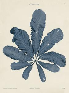 Maugeria Sanguinea by Henry Bradbury