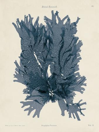 Nitophyllum Punctatum