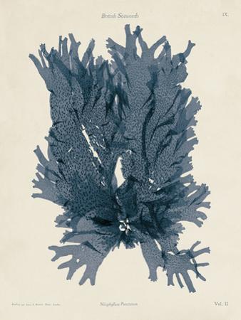 Nitophyllum Punctatum by Henry Bradbury
