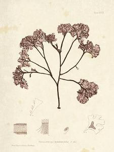 Phyllophora membranifolia by Henry Bradbury
