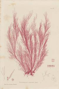 Polysiphonia by Henry Bradbury