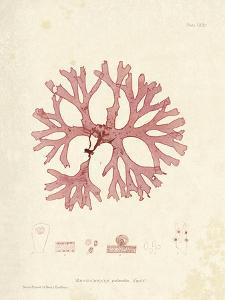 Rhodymenia palmetta by Henry Bradbury